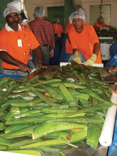 FLP is the world's biggest grower, manufacturer and distributor of Aloe Vera based products. Aloe Barbadensis Miller, Forever Living Aloe Vera, Forever Life, Natural Facial, Forever Living Products, Aloe Vera Gel, Health And Wellbeing, Health Tips, Pure Products
