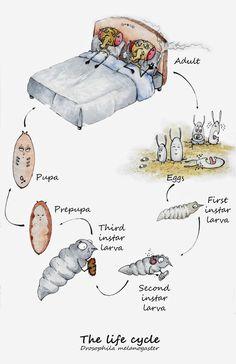 DROSOPHILA DRAWINGS - The Drosophila Life Cycle