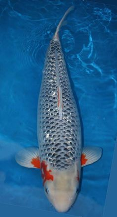 Love the markings on this one mizuho koi fish for Expensive koi fish for sale