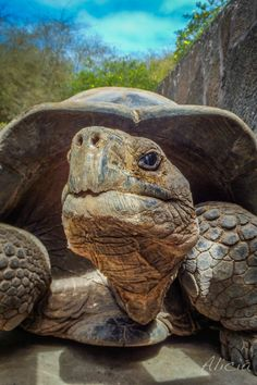 Charles Darwin Research Station, Puerto Ayora, Galapagos, Ecuador - Get up close & personal with tortoises at the Charles Darwin Research Station in the Galapagos.