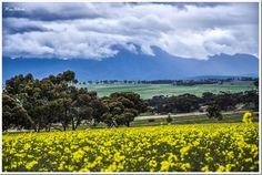 Canola Production – South West Australia