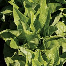 Amish Deer Tongue Heirloom Lettuce: dates back to 1940. 31 days.
