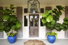 Wow...those are some healthy fiddle leaf fig trees!