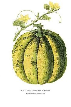 lithograph William Mackenzie made in the 1870's. Beautiful botanical art of fruit and flowers. Features Scarlet-fleshed Rock Melon