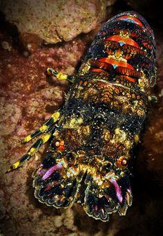 CRUSTACEA (Crustáceo) - Eucarida, Ordem Decapoda. // CRUSTACEA (Crustacean) - Eucarida, Order Decapoda.