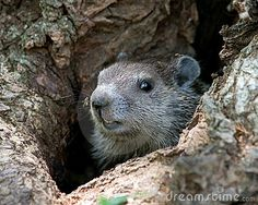 Download Young Groundhog In Tree Royalty Free Stock Photography for free or as low as $0.20USD. New users enjoy 60% OFF. 20,749,692 high-resolution stock photos and vector illustrations. Image: 9674827