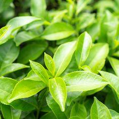 L-teanin blader Spinach, Plant Leaves, Vegetables, Plants, Food, Nature, Essen, Vegetable Recipes, Meals