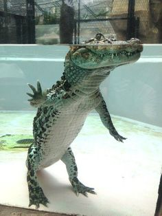 The crocodile's lower body is underwater (laughs). The crocodile's lower body is underwater (laughs). Les Reptiles, Cute Reptiles, Reptiles And Amphibians, Mammals, Types Of Animals, Animals And Pets, Baby Animals, Funny Animals, Cute Animals