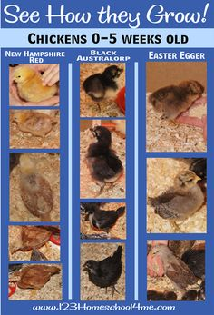 Playing with chicks! See how baby Chickens Grow from 0-6 weeks. with a close up view of how to raise backyard chickens by raising baby chicks. #homeschool #science