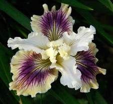PACIFIC COAST IRIS - Seedling 7-5-18