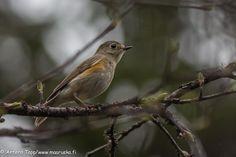 Taiga forest bird by Antero Topp