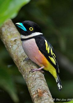 Black and yellow broad bill