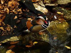 Mandarin duck in Autumn by Maria Bruscha on 500px