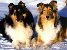 Collies - the one on the right makes me miss Indy so. He was such a beautiful boy, always proud, always gentle, and forever in my heart.