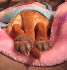 dachshund rear paws and tush