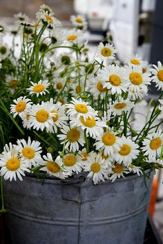 a bucket of daisies