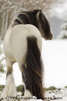 """♂ Wild life animal photography """"Buckskin Gypsy Vanner Stallion MVP Segway"""" by Stephanie Moon. The mane of this horse is really stunning All The Pretty Horses, Beautiful Horses, Animals Beautiful, Clydesdale, Animals And Pets, Cute Animals, Funny Animals, Gypsy Horse, Majestic Horse"""