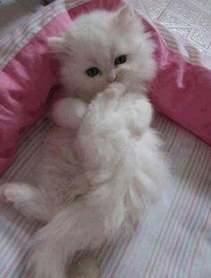 Cute White Fluffy Kittens Fluffy white kitten.