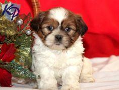 Sweet Tarts – Shih Tzu Puppy   www.keystonepuppies  #keystonepuppies  #shihtzu