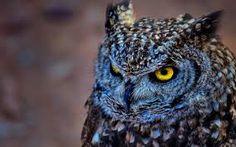 Bilderesultat for owl