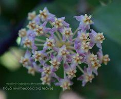 Hoya myrmecopa big leaves