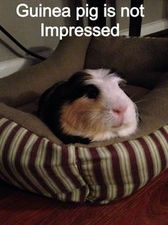 Truffles (my piggy) makes this exact face all the time!!!!!!! It's so adorable :-)
