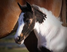 SGV Sahara's Spectacular Kid Baby Horses, Draft Horses, Most Beautiful Horses, Pretty Horses, Animals And Pets, Baby Animals, Best Friends For Life, Clydesdale, Horse Photos