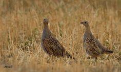 Çilkeklik / Grey Partridge / Perdix perdix by Aynur Dıvarcı - Photo 174005773 / 500px