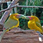 Parabéns pela linda foto @valdirfelipe.birdwatching . Cidade: Tapiraí - SP . 🐦 Species/ Espécie: Araçari banana  Moderador: @georgecaetano . Fundador: @roni_da_villa . 👉🏻@avesbrazil 👉🏻#avesbrazil. . Visite nossas galerias amigas . 📌@boat_barco 📌@apreciadores_natureza 📌@houses_ofthe_world 📌@insta_pordosol 📌@bichosdomundo .  #avesbrazil_valdirfelipe_birdwatching .