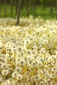 This looks familiar <3 I drew a field of dandelions for my middle school yearbook