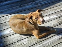 03/15/16-Rufus is an adoptable Hound searching for a forever family near New York, NY. Use Petfinder to find adoptable pets in your area.