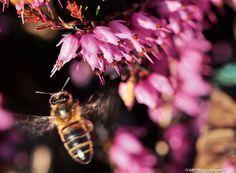 Les plantes pour un jardin favorable aux abeilles : les bruyères d'hiver