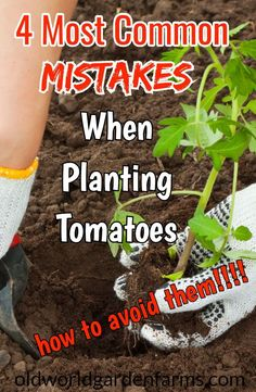 How To Avoid The 4 Most Common Mistakes When Planting Tomatoes. #tomatoes #garden #vegetablegarden #plantingtomatoes #organic #tomatoplants #oldworldgardenfarms