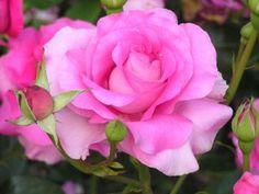 Bellas rosas en el rosal