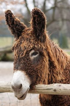 How adorable is a curly haired donkey? poitou donkey