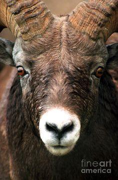 Bighorn Sheep Close Up