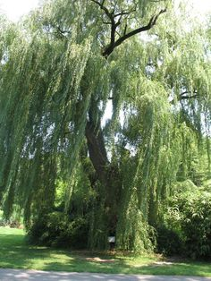 Salix alba 'Tristis'   / Salix alba 'Tristis'   - OnlinePlantGuide.com 17577