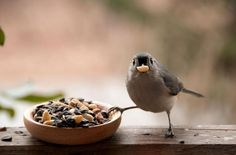 It´s MINE! - Titmouse not letting go of his bowl of peanuts :P - Pixdaus