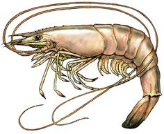 Pistol shrimp facts fascinating pistol shrimp, By far the most interesting aspect of pistol shrimp are their ability to form a symbiotic relationship with some species of goby fish.