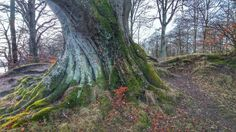The ropy, twisted roots of a tree. Denmark