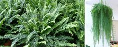 Parsley, Herbs, Plants, Planters, Herb, Plant, Spice