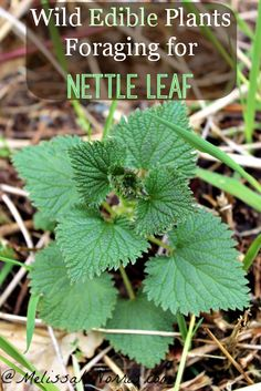 How to Make Nettle Leaf Tea Wild edible plants are perfect for foraging. Learn how to harvest and make nettle leaf tea. Preserve the leaves for year round use and medicinal purposes. Healing Herbs, Medicinal Plants, Nettle Leaf Tea, Do It Yourself Inspiration, Edible Wild Plants, Wild Edibles, Edible Flowers, Organic Gardening, Just In Case