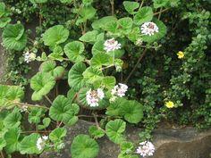 Pelargonium australe Tasmania, Geraniums, Flower Pots, Nativity, Flora, Herbs, Leaves, Waterworks, Landscape