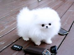 Fluffy Teacup Pomeranian