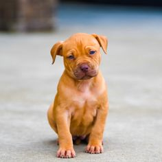Red Nose Pitbull Puppies For Sale Red Nose Pitbull Puppies, Pitbull Puppies For Sale, Pitbull Terrier, Cute Puppies, Baby Pitbulls For Sale, American Staffordshire, Pit Bull, Labrador Retriever, Eye Makeup