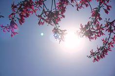 20141104【陽光與美人樹】 早安,今早的鼻子總算乖多了,希望今天不會又一直包水餃囉~