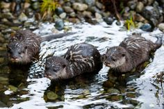 Otter Pups debut at Woodland Park Zoo - Galleries - MyNorthwest.com