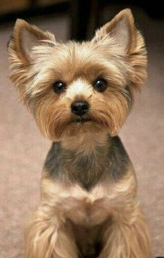 Cute Little Puppies, Cute Puppies, Cute Dogs, Grooming Yorkies, Dog Grooming, Shorkie Tzu, Yorkie Cuts, Miss My Dog, Yorkie Haircuts