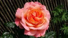 Rosa Belvedere in my garden! So beautiful
