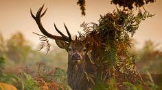 A male red deer in London's Richmond Park | male red deer in London's Richmond Park, England (© Ian Schofield ...